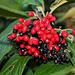 Viburnum rhytidophyllum 3