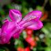 Schlumbergera rose