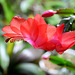 Schlumbergera rouge