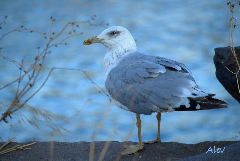 Martı... Glaros... Seagull...
