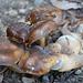Champignons groupés
