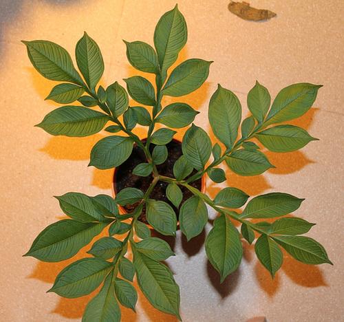 Amorphophallus konjac 11581418.c76963e9.500