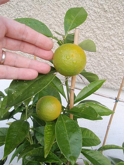orange sanguinelli PB183841