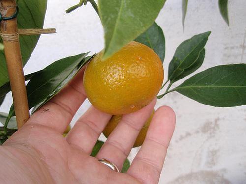 mandarine satsuma PB183844