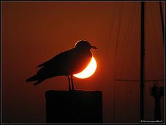seagull sun..