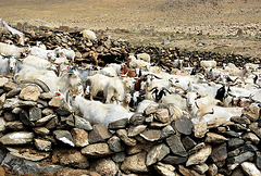 India. Goat enclosure.Near Tso Kar @ 4600m