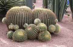 Cactus à Marrakech