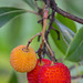 Fruits de l'arbousier...