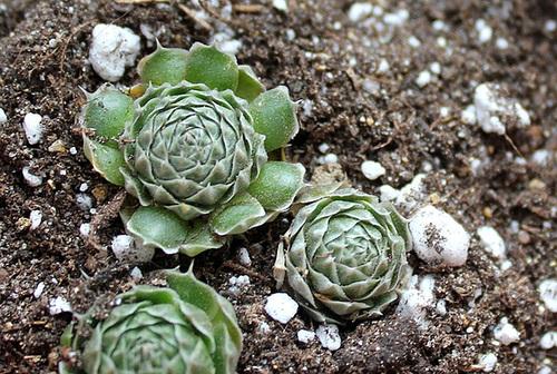 Orostachys spinosa (2)