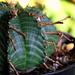 Euphorbia meloformis fa magna (5)