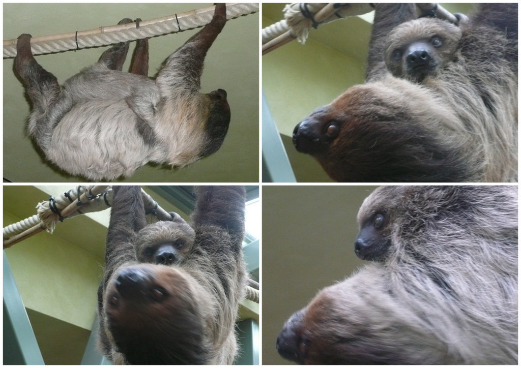 Zoo Dresden - Faultier - Mutter und Kind
