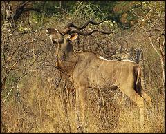 Grand koudou d'Afrique.