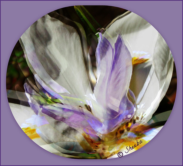African Iris layers - for PaulO Classic