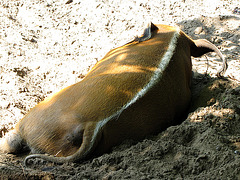 IMG 2368 Pinselohrschwein