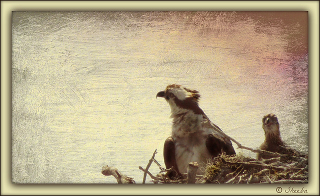 Osprey family painting ..