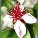 Pineapple guava bloom ...