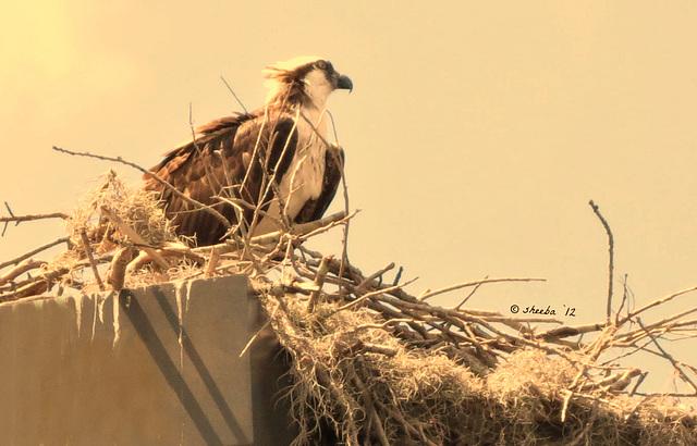 Osprey observing ..