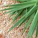 Agave stricta - Détail des feuilles
