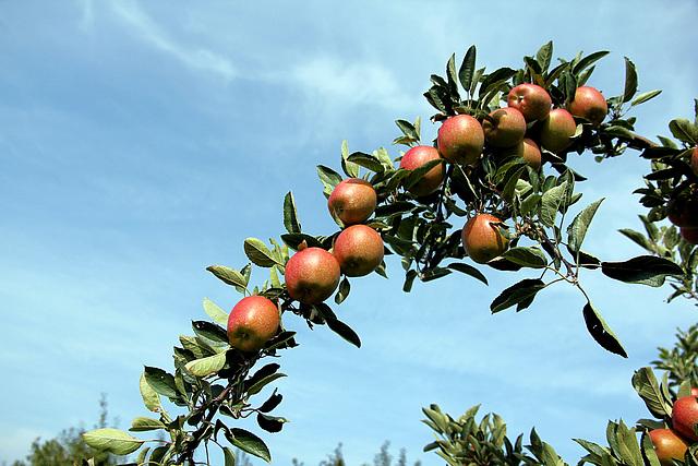 Apfelbogen