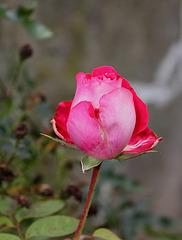Rose Osiria- la dernière