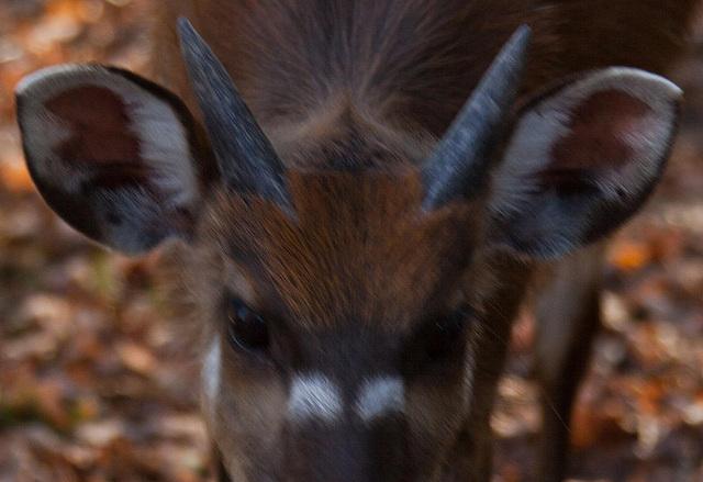 20111104 6813RAw [D~ST] Sitatunga-Antilope, Zoo Rheine