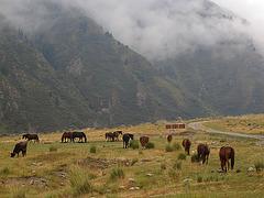 Chevaux kirgyzes