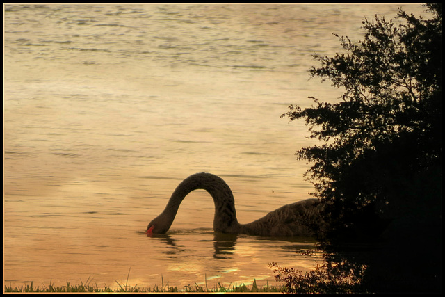 at sunset .. a swan ..