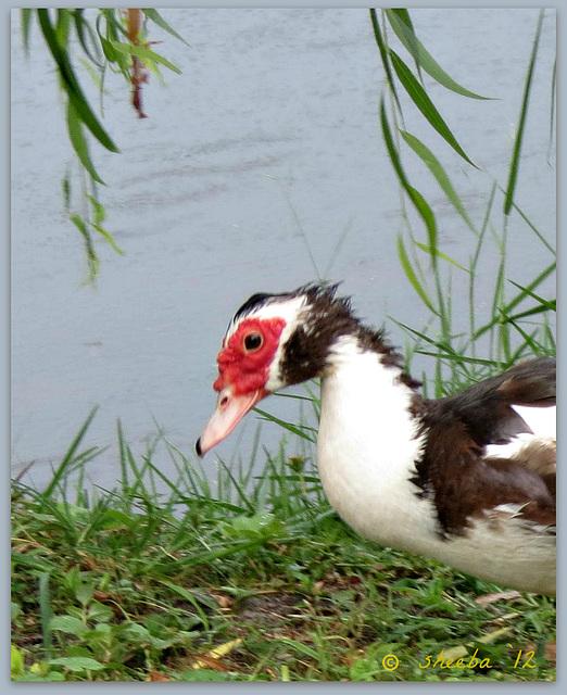 Duck sigh --