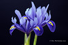 Miniature Iris  078 copy Explore