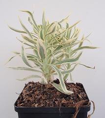 euphorbe characias tasmanian tiger P9243479-2