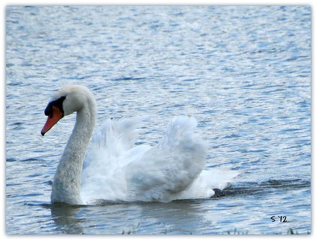 - one Swan a swimming