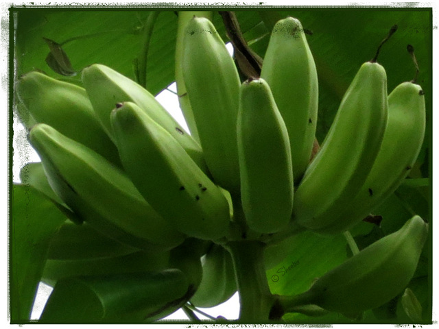 we have Bananas !  --- green ones --