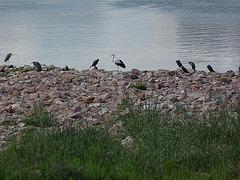 Graureiher, Storch und Kormorane