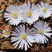 Cailloux fleuris- karasmontana bella