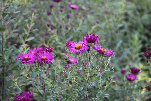 asters d'automne  novae -angliae