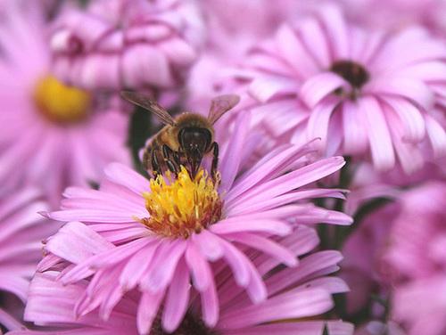 abeille sur Aster dumosus