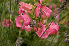 Fleurs roses et lavandes
