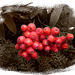 bird berries