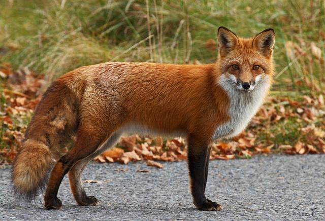 壁纸 动物 狐狸 桌面 640_436