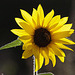 20110924 6530RAw Sonnenblume, Biene