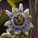 20110924 6497RAw [D~LIP] Passionsblume, UWZ, Bad Salzuflen