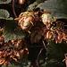 20110924 6495RAw [D~LIP] Hopfen, UWZ, Bad Salzuflen