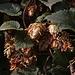 20110924 6494RAw [D~LIP] Hopfen, UWZ, Bad Salzuflen