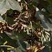 20110924 6484RAw Ahornfrüchte
