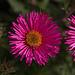20110924 6460RAw [D~LIP] Blütenpflanze, UWZ, Bad Salzuflen