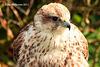 Saker Falcon Female  2 134 copy Explore