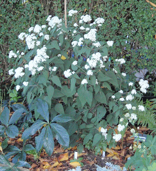 eupatorium rugosum 'chocolate' PA163727-1