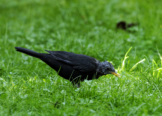 Unsere letzte lebende Amsel :-(