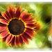 autumn sunflower ☼