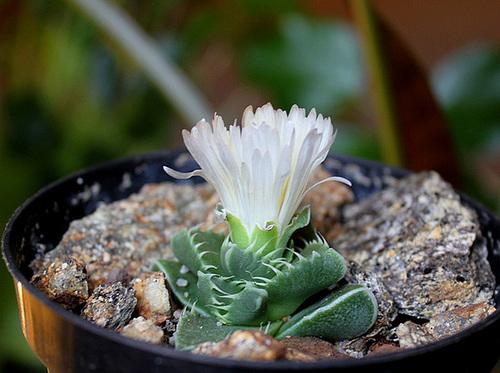 Faucaria felina 'Candida' 11665567.e0339bf7.500